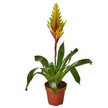 Load image into Gallery viewer, Bromeliad Vriesea 'Energy'