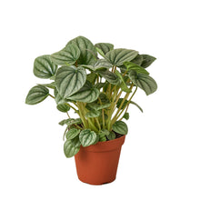 Load image into Gallery viewer, Peperomia 'Platinum'