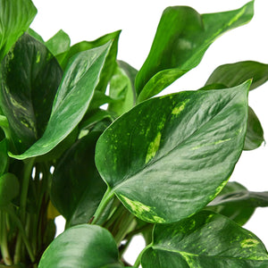 Pothos 'Golden' Cuttings (5 Pack)