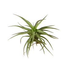 Load image into Gallery viewer, Bergeri Air Plant