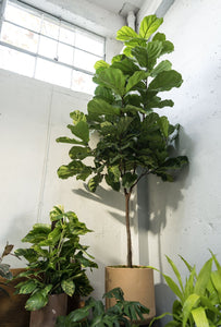 XXXL Fiddle Leaf Fig Tree