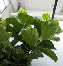 Load image into Gallery viewer, XXXL Fiddle Leaf Fig Tree
