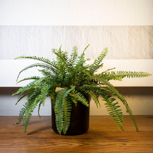 Sword Fern + Black Cylinder Planter