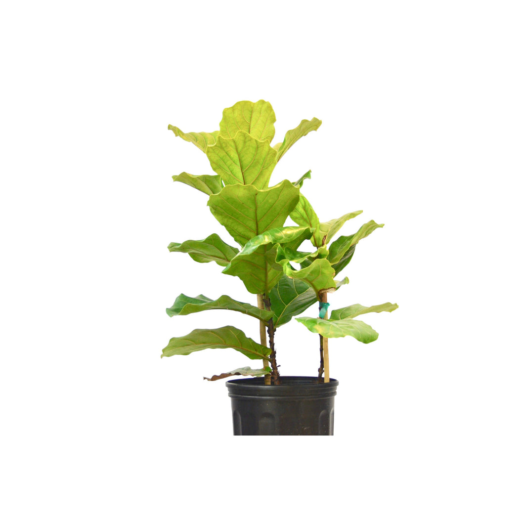 Ficus Lyrata 'Fiddle Leaf Fig' - In 10