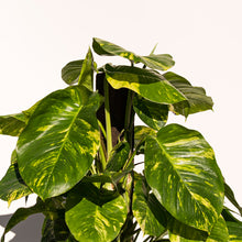 Load image into Gallery viewer, XL Hawaiian Pothos + Rustic Ceramic Planter