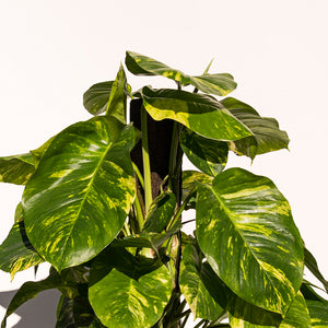 XL Hawaiian Pothos + Rustic Ceramic Planter