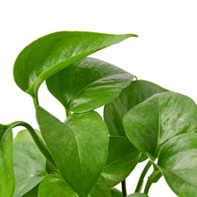 Load image into Gallery viewer, Pothos 'Green Queen'
