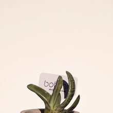 Load image into Gallery viewer, Lawyer's Tongue + Faux Concrete Planter