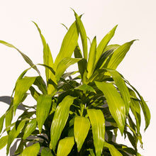 Load image into Gallery viewer, XL Dracena Limelight