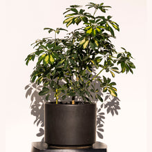 Load image into Gallery viewer, Schefflera Variegated + Black Ceramic Cylinder