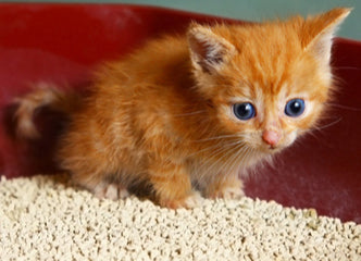 How to Litter Train a Kitten in A New Home -  8 Tips