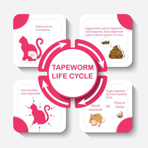 Catixo tapeworm life cycle
