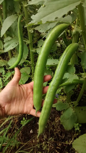 5B's Choice Broad Bean-Beans-Vegetables-Full Circle Seeds