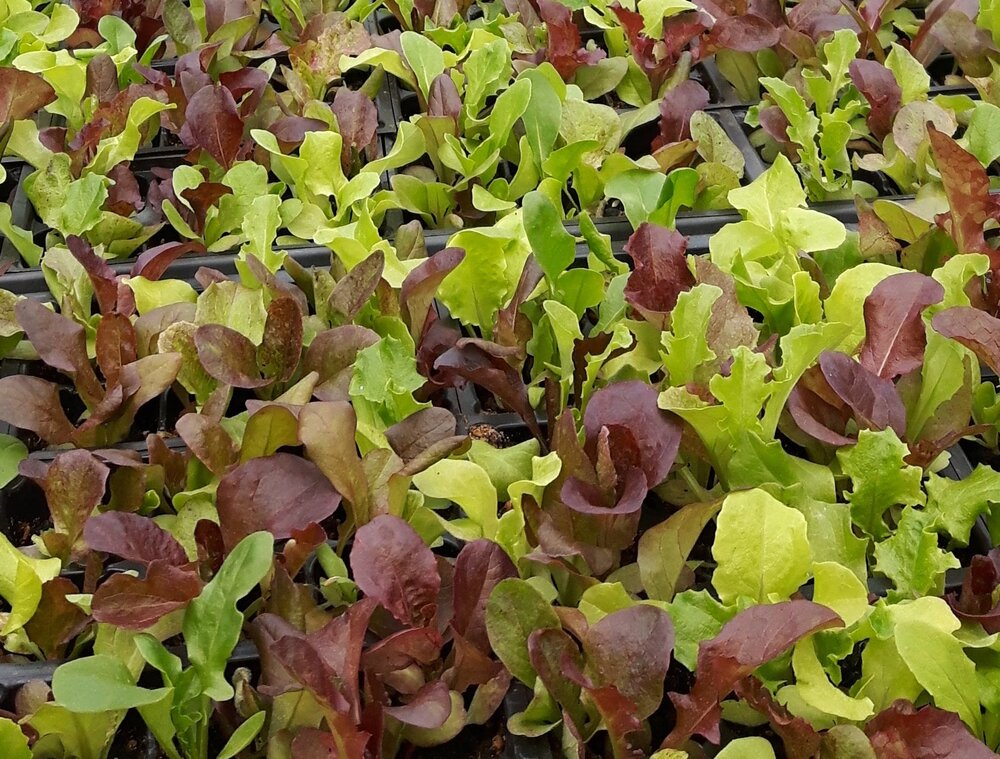 All Weather Lettuce Blend-Lettuce-Vegetables-Full Circle Seeds