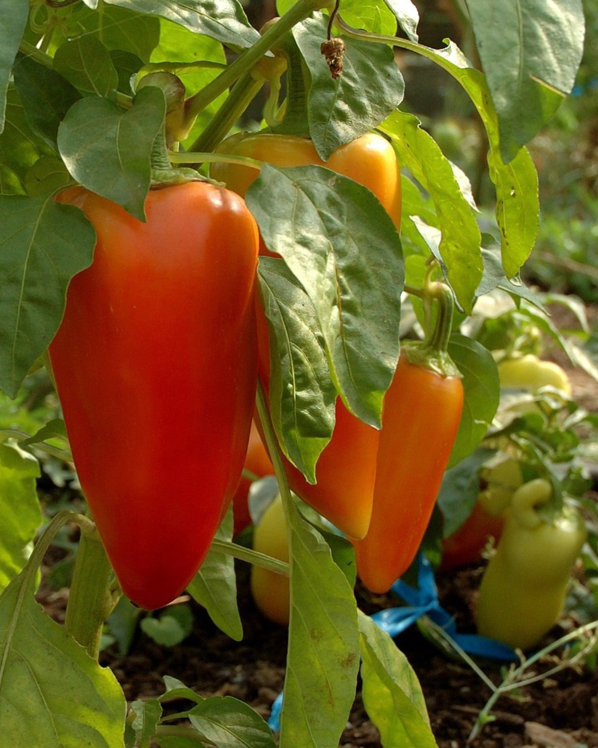 Antohi Romanian-Peppers-Vegetables-Full Circle Seeds