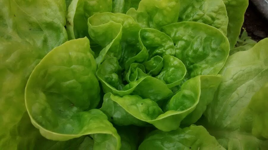 Arctic King - green, butterhead-Lettuce-Vegetables-Full Circle Seeds
