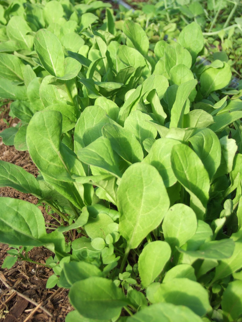 Annual Arugula-Salad Greens-Vegetables-Full Circle Seeds