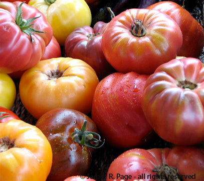 Beefsteak Tomato Mix-Tomatoes-Vegetables-Full Circle Seeds