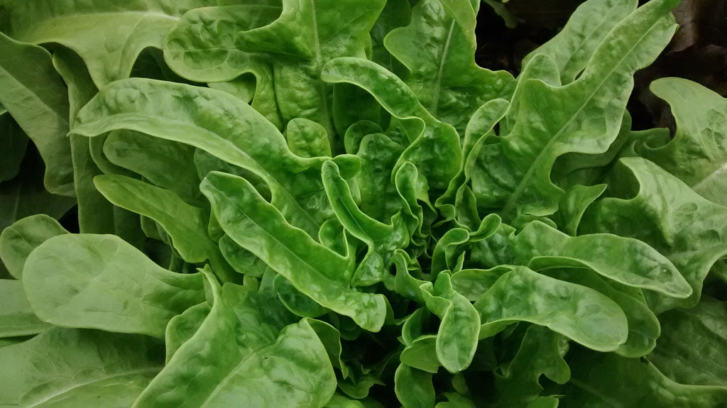 Berenice - green, oakleaf-Lettuce-Vegetables-Full Circle Seeds