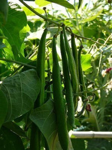 Best of All Runner Beans-Beans-Vegetables-Full Circle Seeds