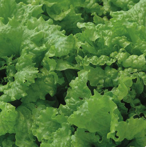 Black Seeded Simpson - green, leaf-Lettuce-Vegetables-Full Circle Seeds