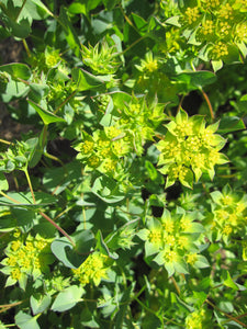 Bupleurum-Flowers-Flowers-Full Circle Seeds