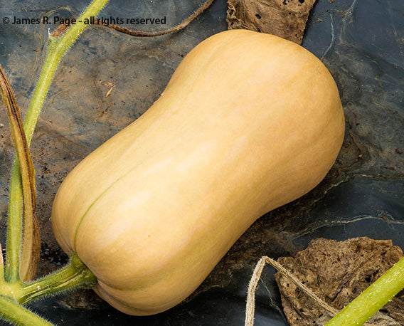 Waltham Butternut Squash-Winter Squash-Vegetables-Full Circle Seeds