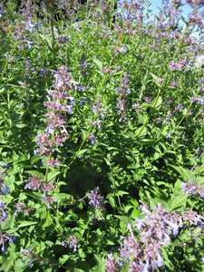 Catmint-Flowers-Flowers-Full Circle Seeds