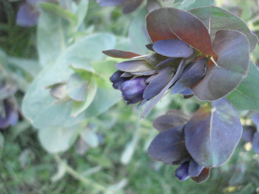 Cerinthe-Flowers-Flowers-Full Circle Seeds