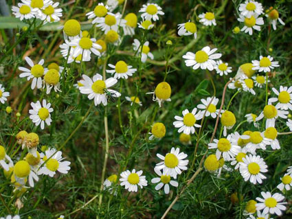 Chamomile German-Medicinal Herbs-Herbs-Full Circle Seeds