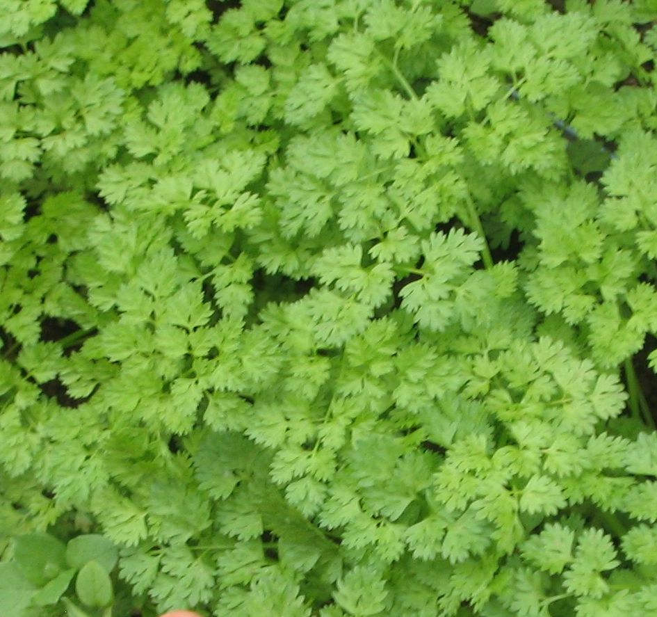 Chervil-Culinary Herbs-Herbs-Full Circle Seeds