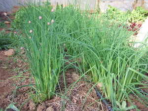 Chives-Herbs-Herbs-Full Circle Seeds