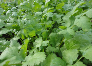 Cilantro-Herbs-Herbs-Full Circle Seeds