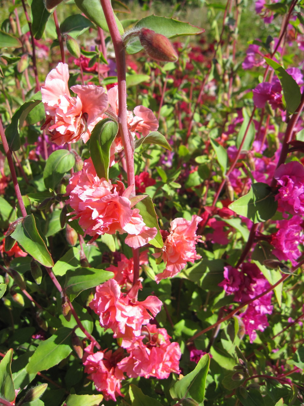 Clarkia-Flowers-Flowers-Full Circle Seeds