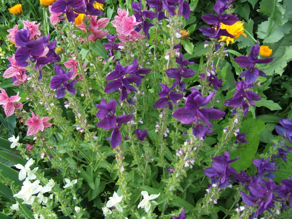 Clary Sage-Flowers-Herbs-Full Circle Seeds