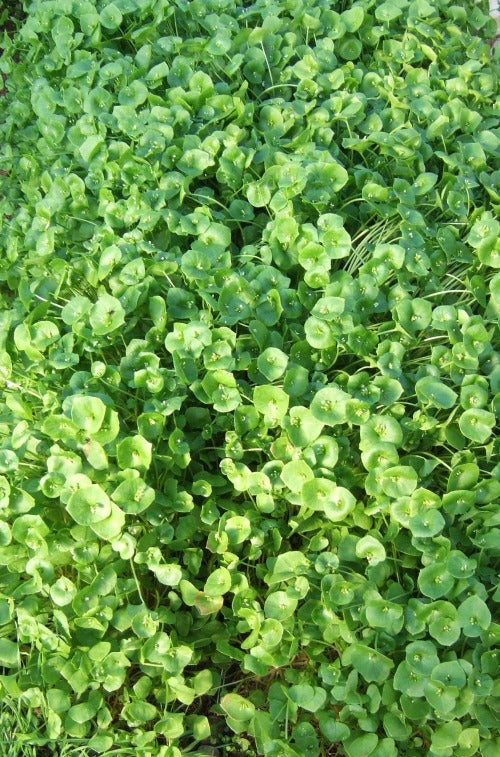 Claytonia (Miner's Lettuce)-Salad Greens-Vegetables-Full Circle Seeds