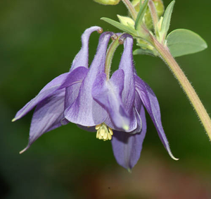 Columbine, ALM Mix-Flowers-Flowers-Full Circle Seeds