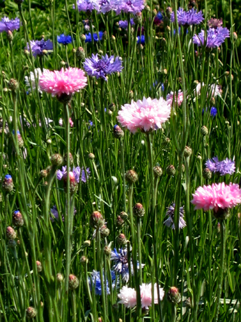 Cornflower (Bachelor's Button)-Flowers-Flowers-Full Circle Seeds