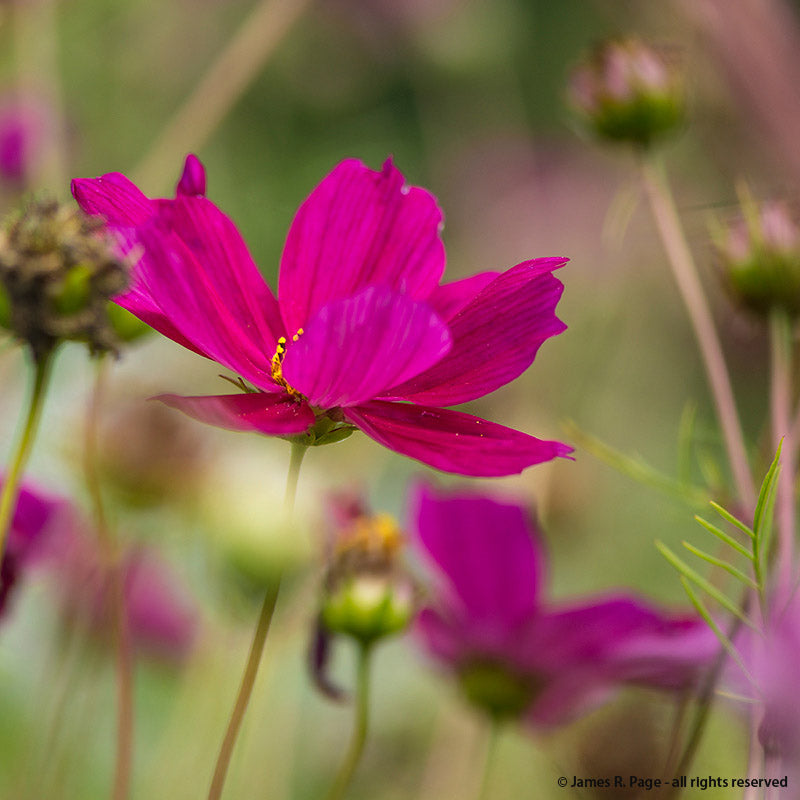Cosmos-Flowers-Flowers-Full Circle Seeds