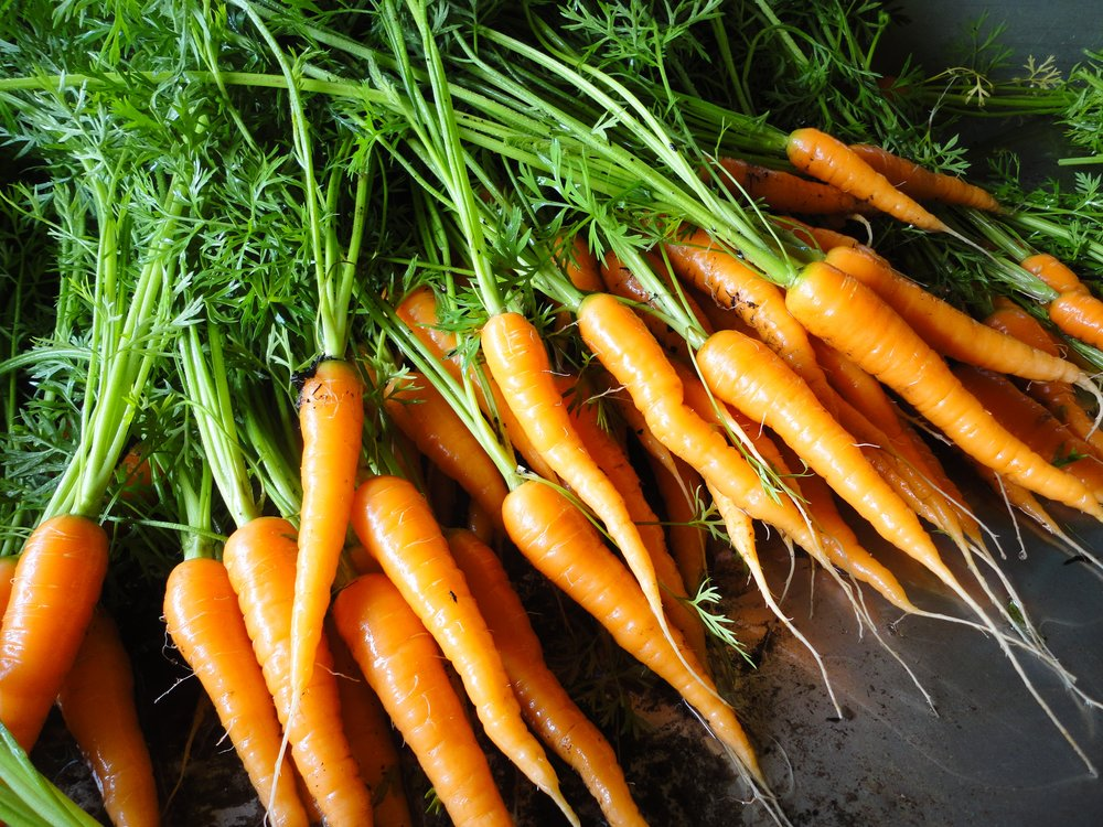 Danvers Carrots-Carrots-Vegetables-Full Circle Seeds