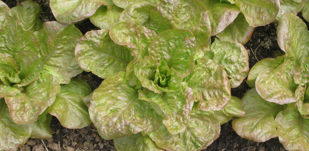 De Morges Braun - red, leaf-Lettuce-Vegetables-Full Circle Seeds