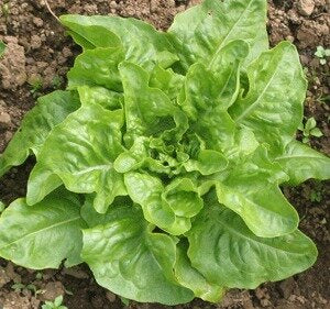 Deer Tongue - green, bibb-Lettuce-Vegetables-Full Circle Seeds