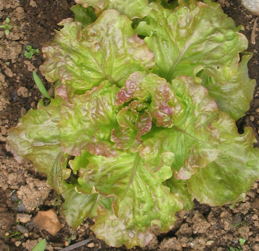 Drunken Woman - red, leaf-Lettuce-Vegetables-Full Circle Seeds