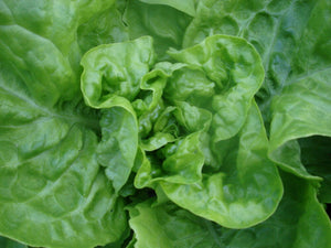 Dutch Winter - green, leaf-Lettuce-Vegetables-Full Circle Seeds