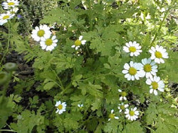 Feverfew-Herbs-Herbs-Full Circle Seeds