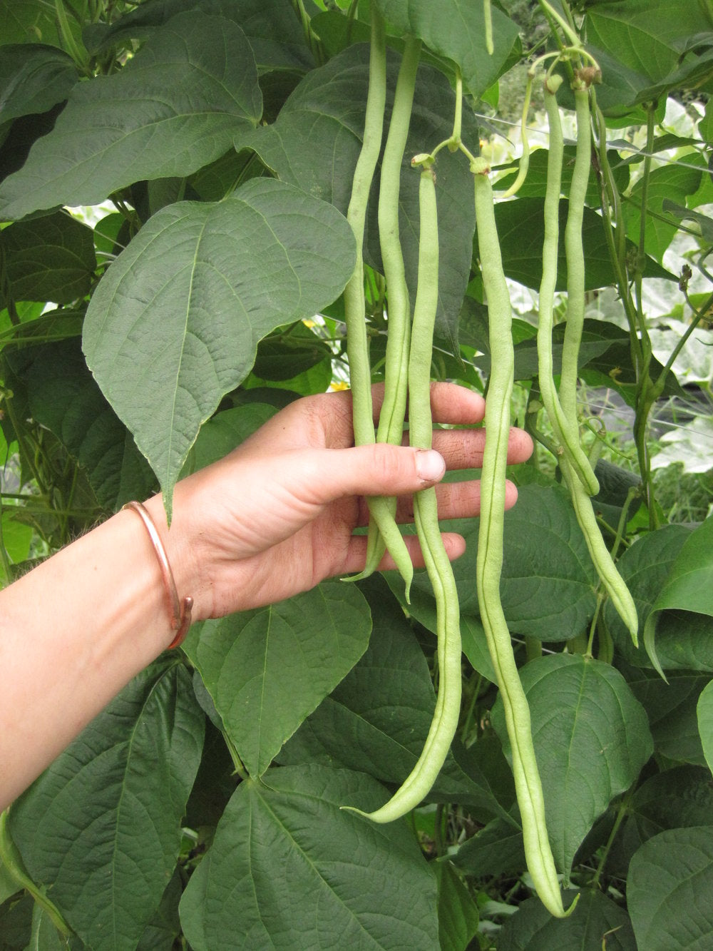 Fortex-Beans-Vegetables-Full Circle Seeds