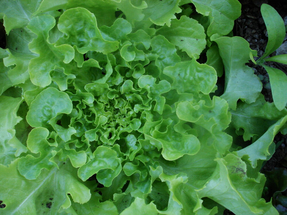 Galisse - green, leaf-Lettuce-Vegetables-Full Circle Seeds
