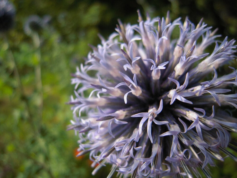 Globe Thistle-Flowers-Flowers-Full Circle Seeds