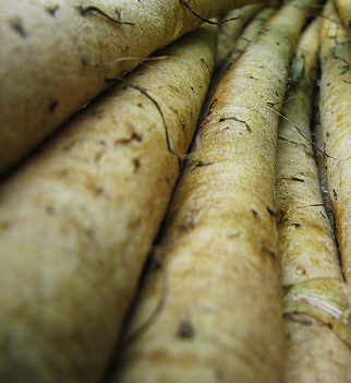 Gobo (Edible Burdock)-Gobo-Vegetables-Full Circle Seeds