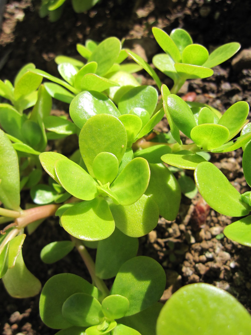 Golden Purslane-Salad Greens-Vegetables-Full Circle Seeds